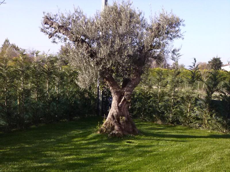 Prezzi piante di ulivo idee per interni e mobili for Vendita piante da giardino