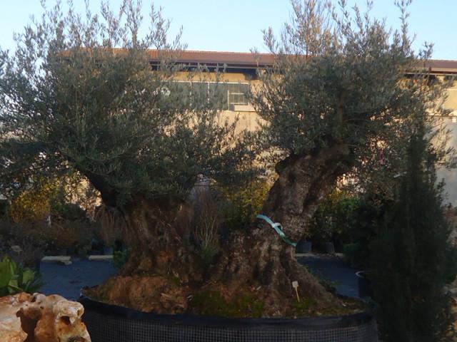 vendita olivi camponogara